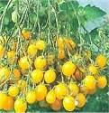 tomato Ildie