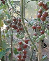 black cherry tomato 2