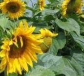 sunflower giant