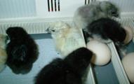 chicks012.JPG