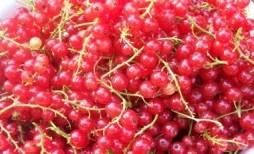 currant-harvest-300x224.jpg