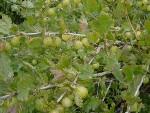gooseberry-jam-005-300x225.jpg