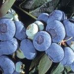 blueberrydarrow