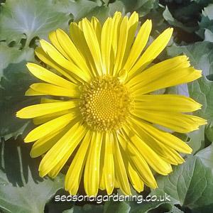 doronicum-flower