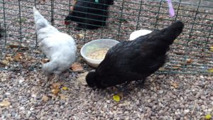 Black & Lavender Araucana Bantams